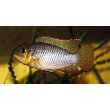 Benitochromis riomuniensis