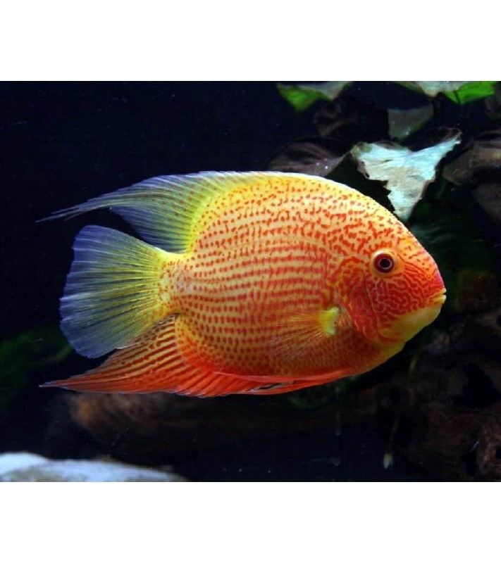 Cichlasoma severum Gold Red Spot