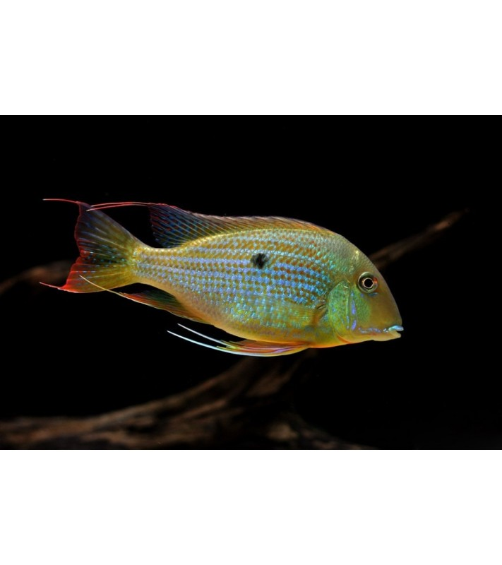 Geophagus altifrons Tocantins