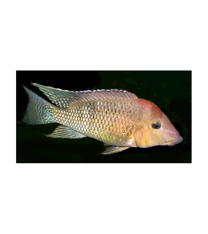 Geophagus hondae-steindachneri