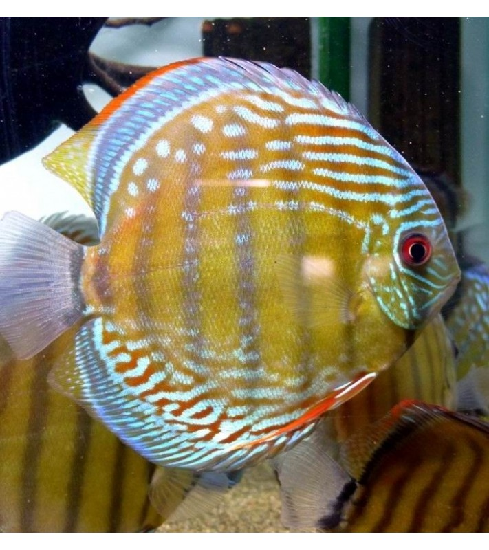Symphysodon discus Blue  Nhamunda Maracanha