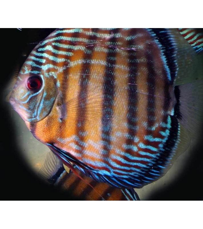 Symphysodon discus Blue Colorful Paraconi