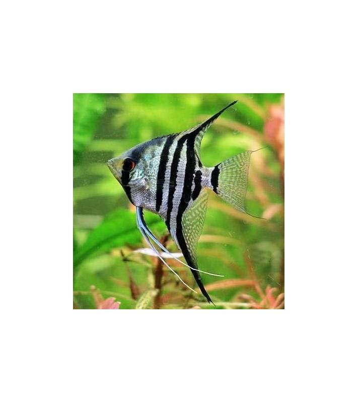Pterophyllum scalare Zebra