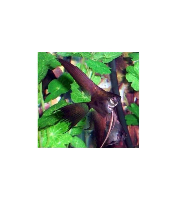 Pterophyllum scalare Mosquito Copper