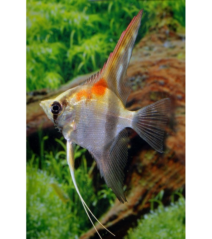 Pterophyllum scalare sp. Red Back