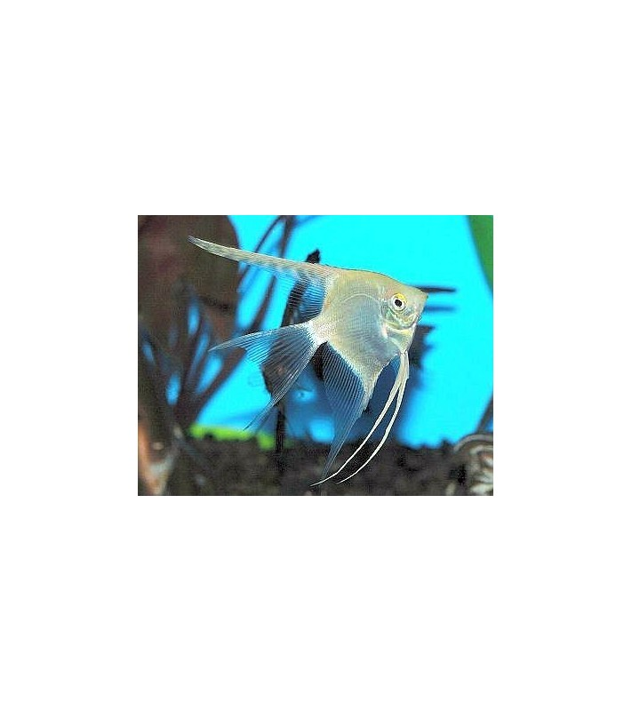 Pterophyllum scalare pearlscale longfin
