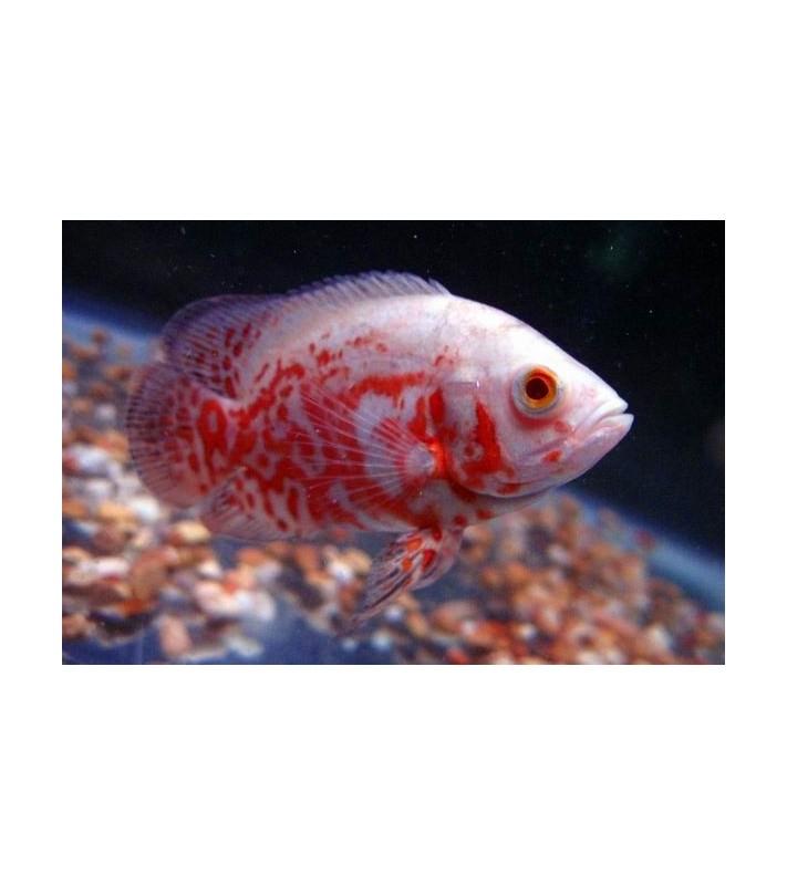 Astronotus ocellatus Red Tiger Albino