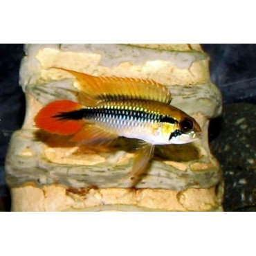 Apistogramma agassizi Red Tail
