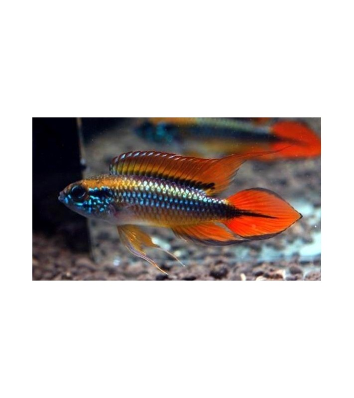 Apistogramma agassizi Double Red
