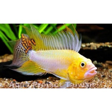 Apistogramma cacatuoides Gold-Orange