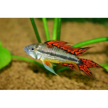Apistogramma cacatuoides Double Red
