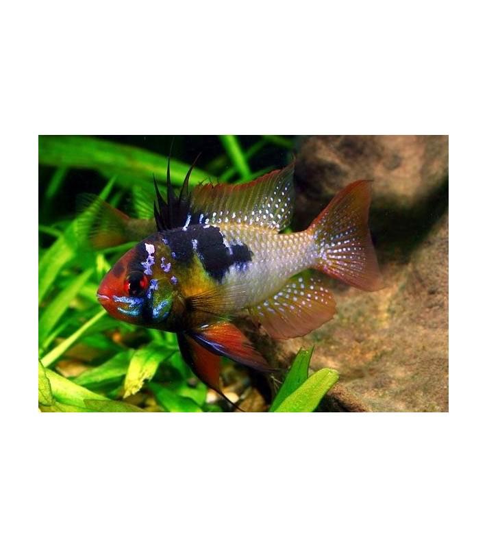 Papiliochromis ramirezi