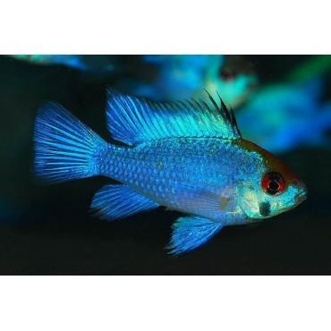 Papiliochromis ramirezi Super Neon Blue