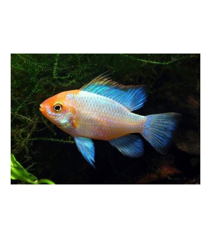 Papiliochromis ramirezi Super Neon Blue Gold