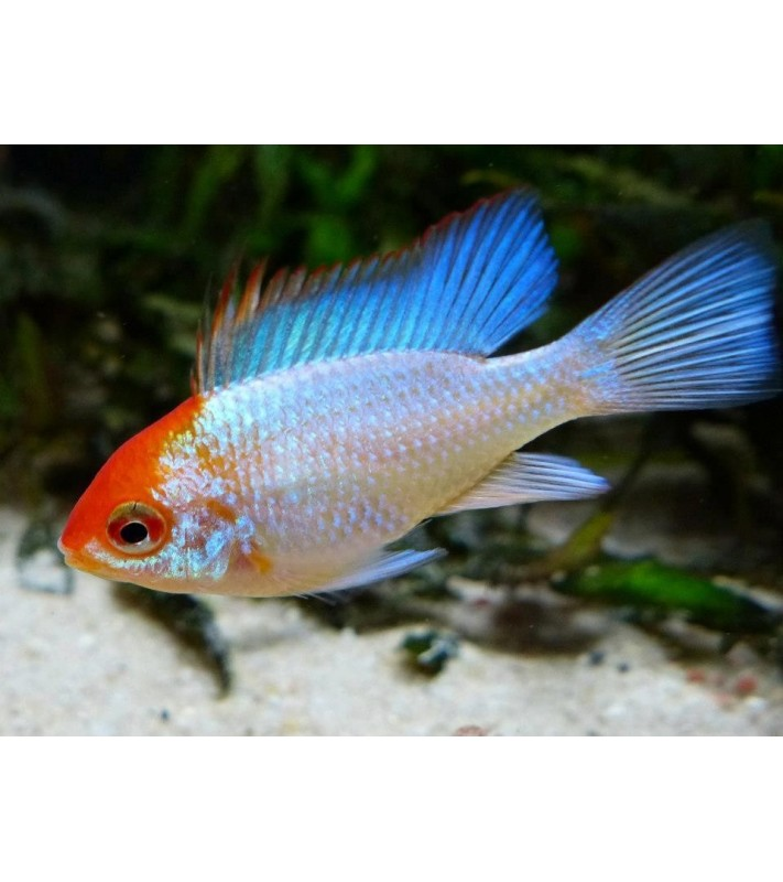 Papiliochromis ramirezi Super Neon Blue Orange Head