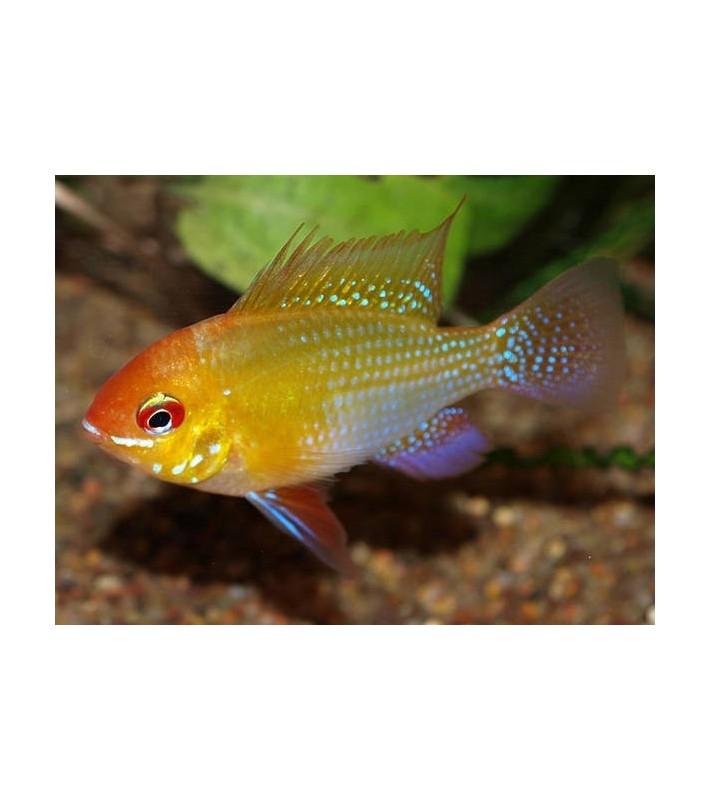 Papiliochromis ramirezi Gold