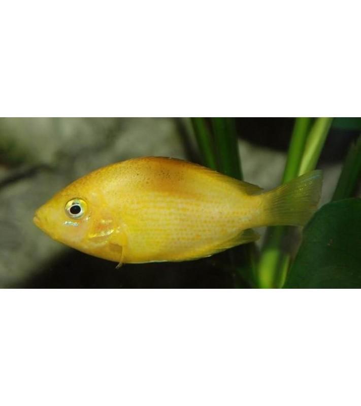 Etroplus maculatus Gold
