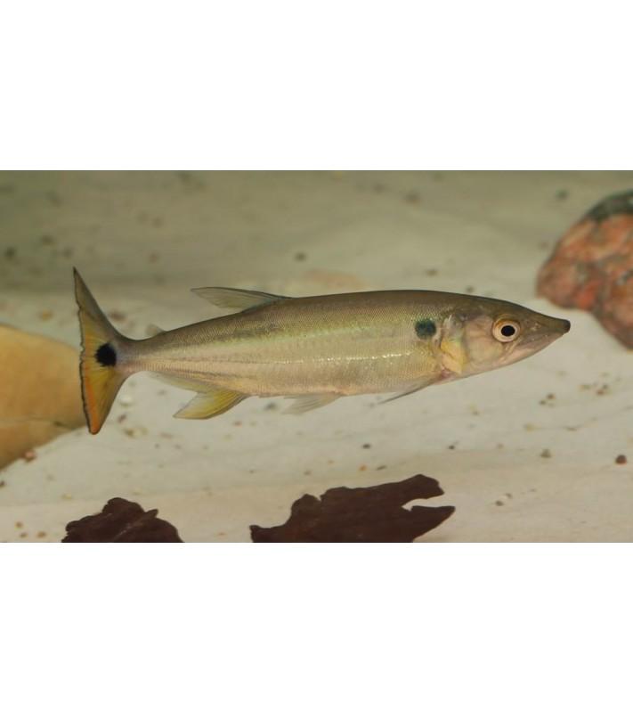 Acestrorhynchus altus Pantaneiro