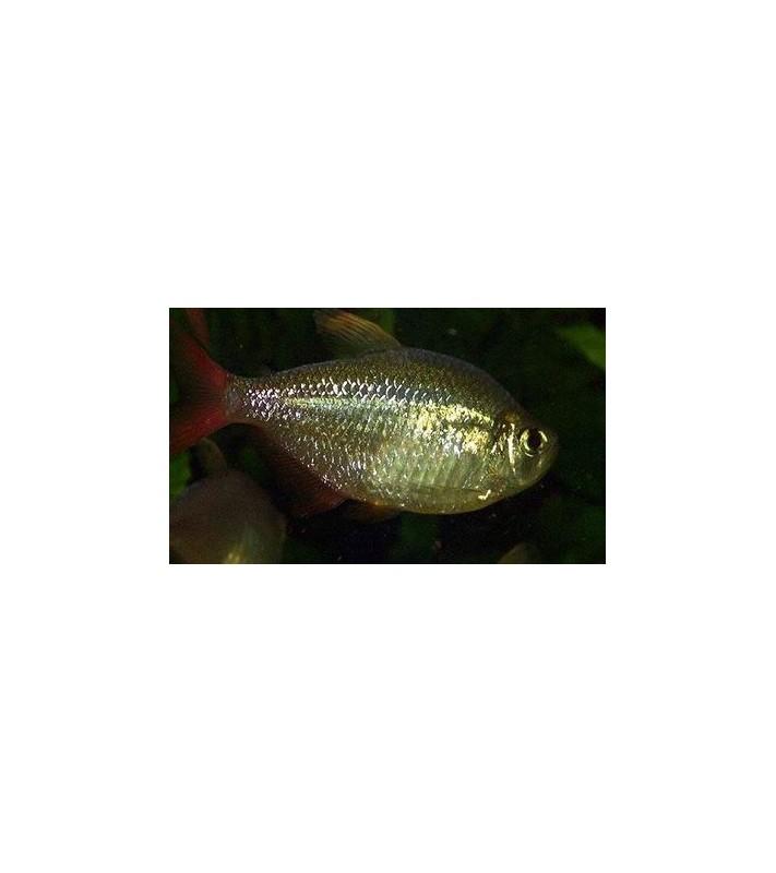 Hyphessobrycon columbianus gold
