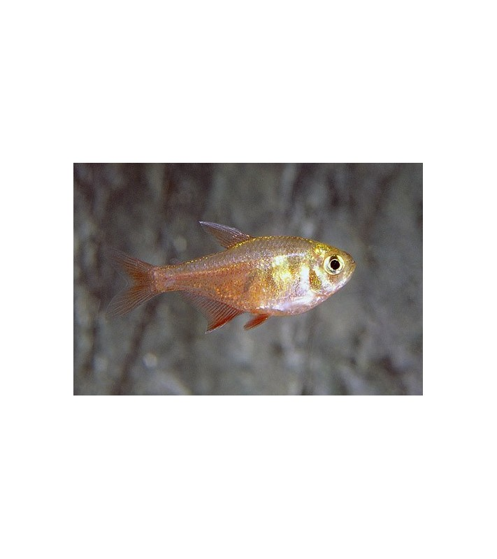 Hyphessobrycon flammeus diamond