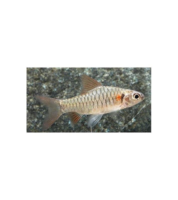 Barbus congicus
