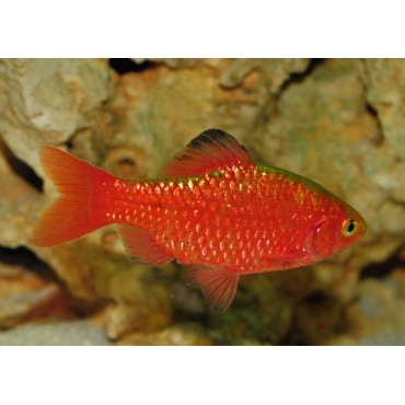Puntius conchonius blood red