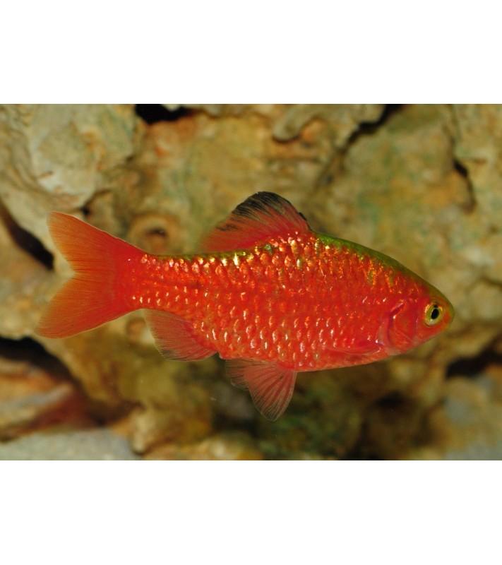 Puntius conchonius blood red