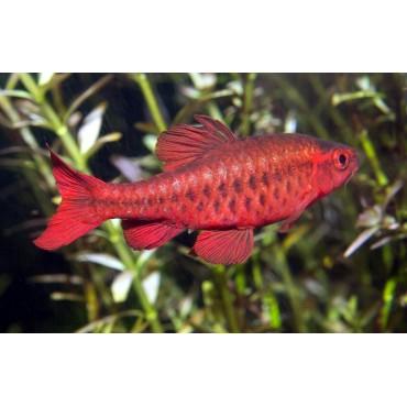 Puntius titteya super red