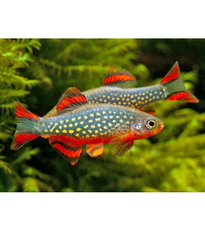 Celestichthys margaritatus