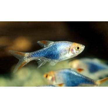 Rasbora heteromorpha Blue