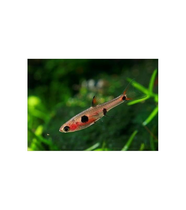 Rasbora maculata