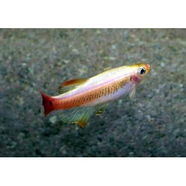 Tanichthys albonubes Gold