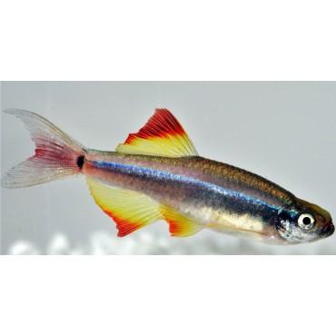 Tanichthys linni longfin