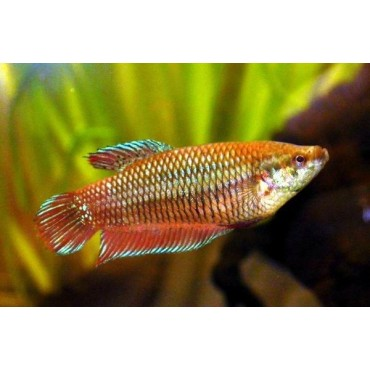 Betta splendens females