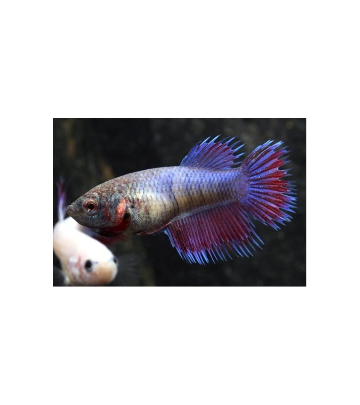 Betta splendens Crown Tail females