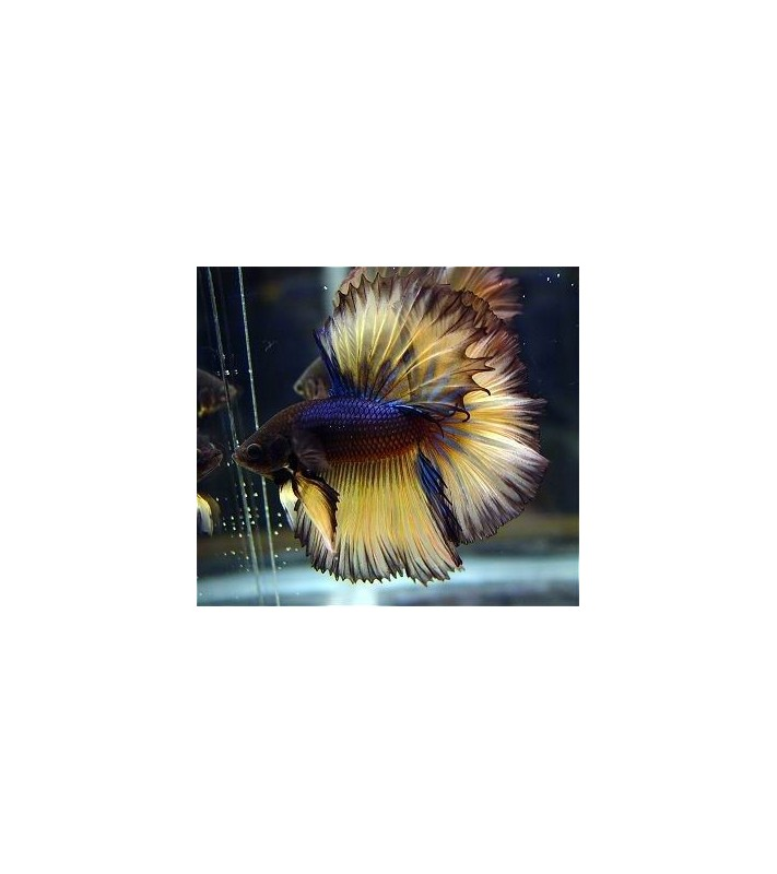 Betta splendens Half Moon