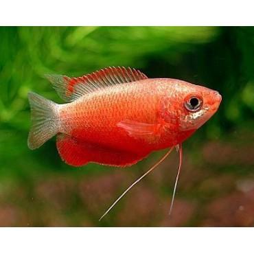 Colisa labiosa Rubin Red