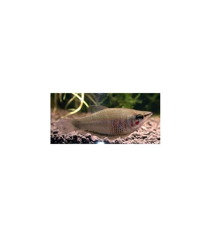 Sphaerichthys acrostoma