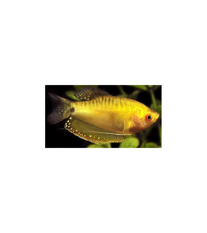 Trichogaster trichopterus Gold