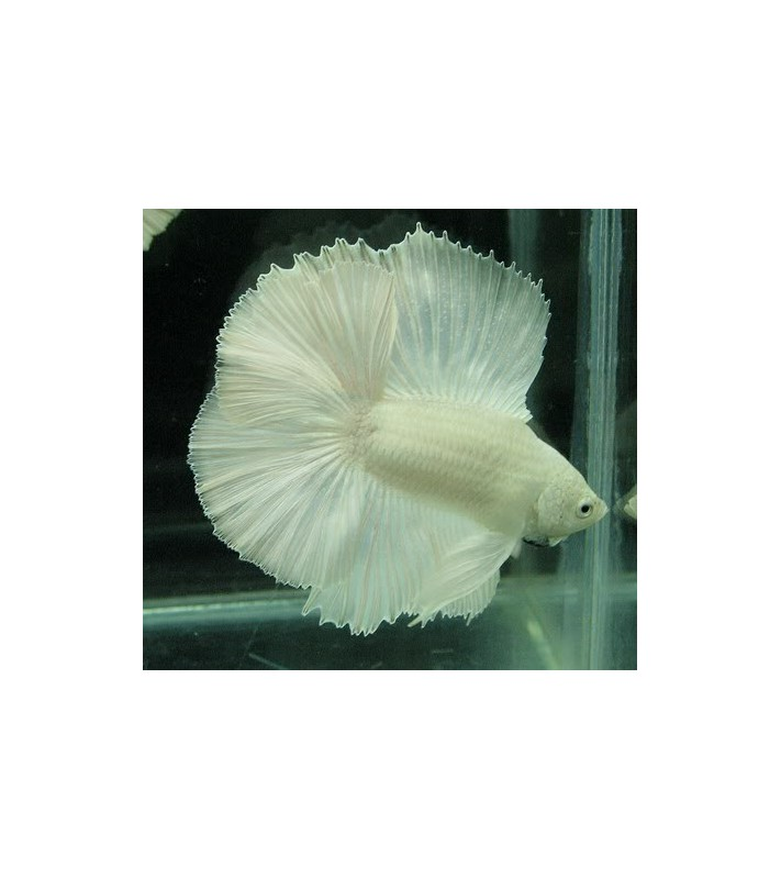 Betta splendens halfmoon double tail white