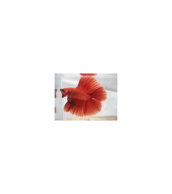 Betta splendens halfmoon double tail red