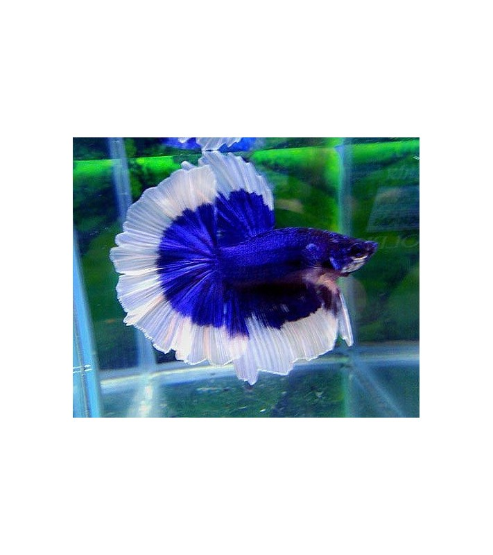 Betta splendens superdelta blue&white