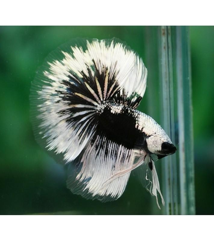 Betta splendens superdelta black&white