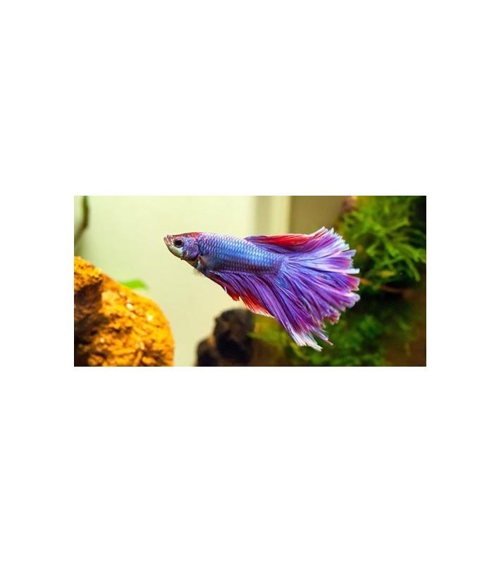 Betta splendens superdelta violet