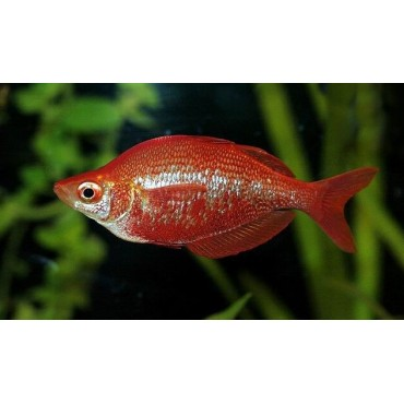 Glossolepis incisus Red