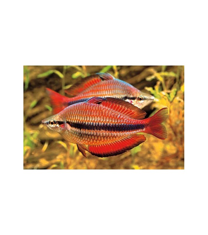 Melanotaenia trifasciata Red