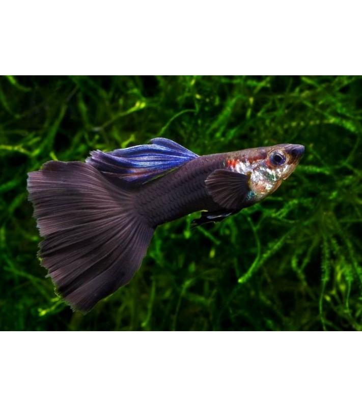 Poecilia reticulata Black