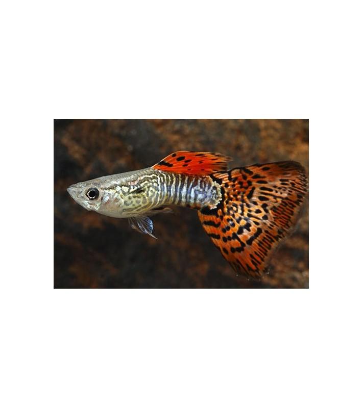 Poecilia reticulata Leopard