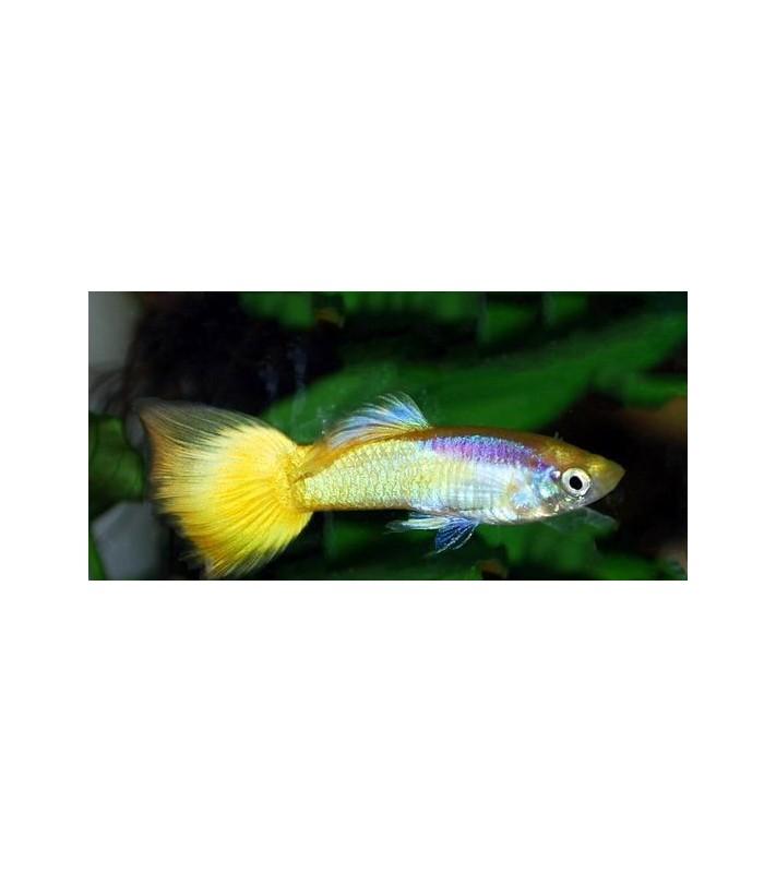 Poecilia reticulata Neon Gold