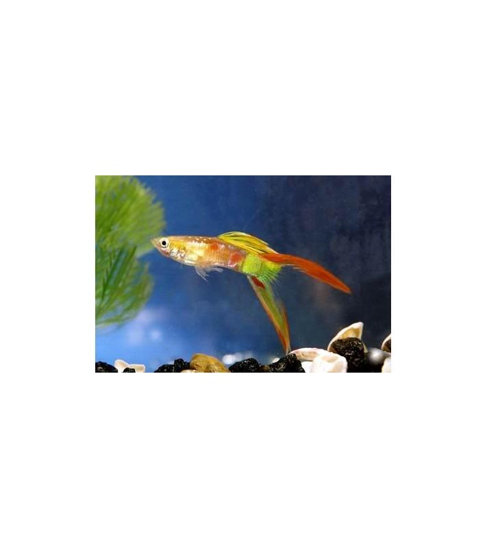 Poecilia reticulata Calico Lyretail